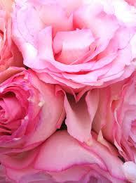 imagine_rose rosa 2pg