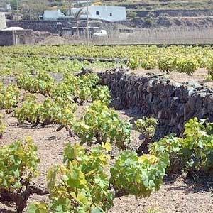La coltura dell'alberello di Pantelleria candidata a patrimonio culturale dell'Unesco