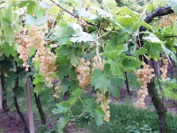 """Photo of Ritorna """"Andar per vigne in Valcalepio"""""""