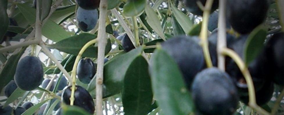 Prezzo dell'olio extravergine di oliva