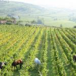 Il cavallo nelle vigne nell'azienda Coffele