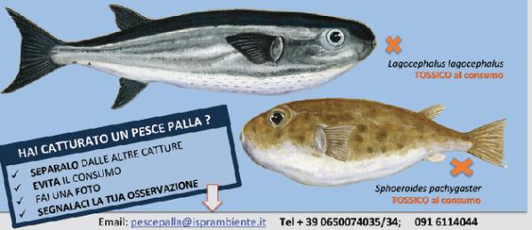Photo of Specie ittica aliena altamente velenosa nel Mediterraneo