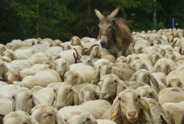 La mucca in corridoio e gli Italiani pecoroni
