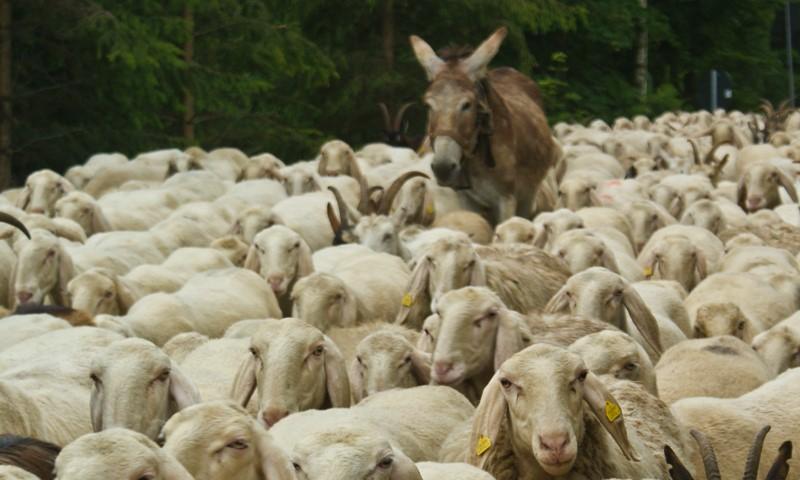 Photo of La mucca in corridoio e gli Italiani pecoroni