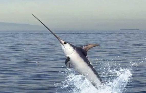Photo of Partono dal 2017 le quote per il pesce spada