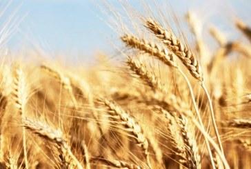 Requiem per il grano duro