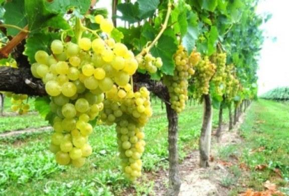 Vinitaly benedice il Pinot interregionale