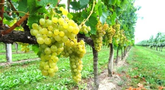 Photo of Vinitaly benedice il Pinot interregionale