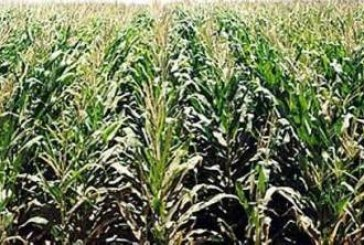 Dall'Università di Pisa si scopre che il mais OGM fa bene alla salute