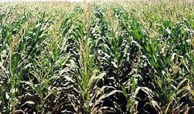 Photo of Dall'Università di Pisa si scopre che il mais OGM fa bene alla salute