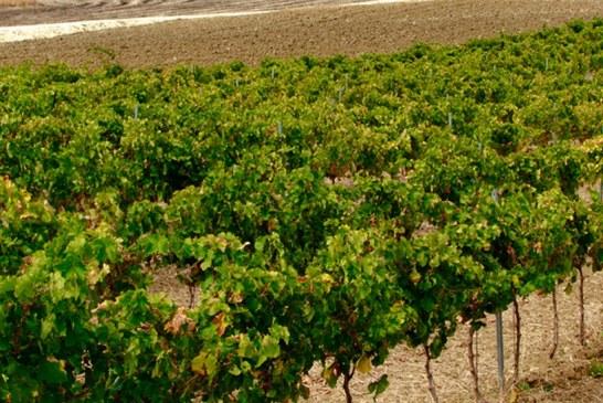 Il vino che verrà