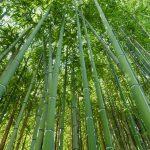 Rivoluzione bambù