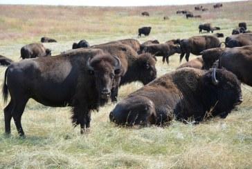 Non chiamate i bisonti bufali!