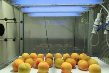 Una superfrutta viene studiata nei laboratori all'Università di Pisa