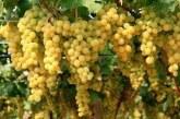 Vendemmia Italia 2019, calo del 16-20% di uva, ma più qualità