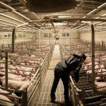 Inizia la guerra americana del maiale con la Cina