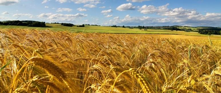 Pasta Barilla diventa azzurra al 100% con grano italiano