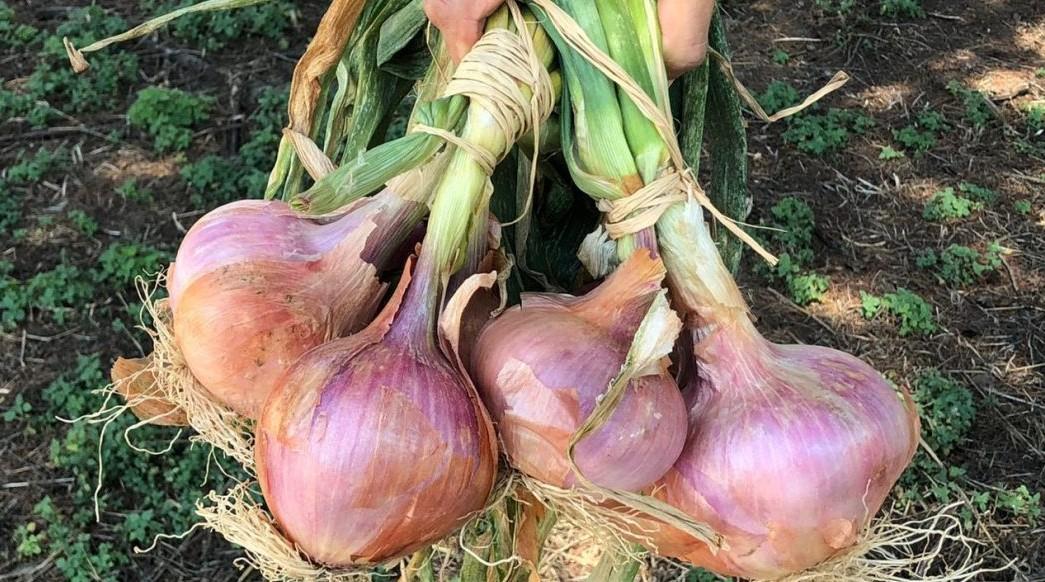 La cipolla di Airola diventa un Presidio Slow Food