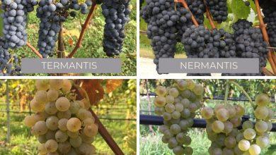 Photo of La nuova frontiera dei vitigni resistenti alle malattie fungine